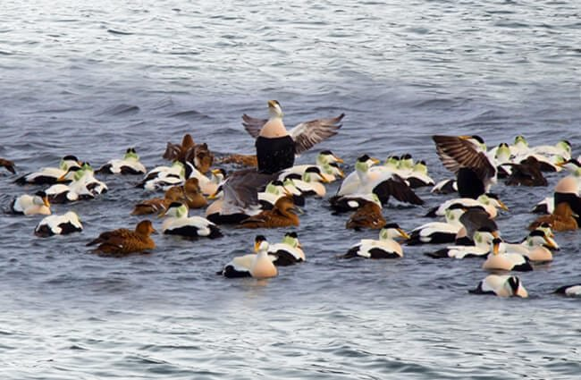 A raft of King Eider ducks Photo by: Silver Leapers //creativecommons.org/licenses/by/2.0/