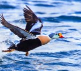 King Eider Taking Flight Off The Water Photo By: Ron Knight Https://creativecommons.org/licenses/by/2.0/