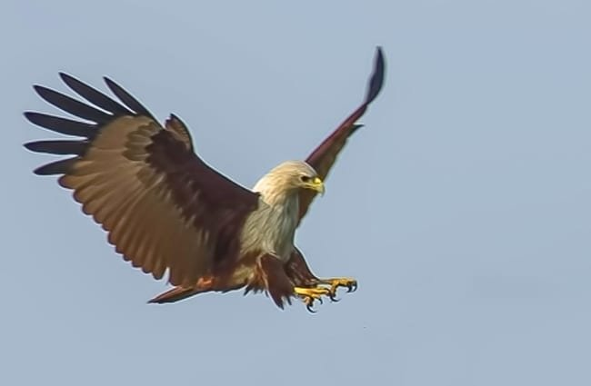 Brahminy Kite diving for prey Photo by: Antony Grossy //creativecommons.org/licenses/by/2.0/