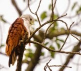 Brahminy Kite, Also Known As The Red-Backed Sea-Eagle, In Australia Photo By: Srikaanth Sekar //creativecommons.org/licenses/by/2.0/