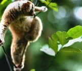 Slow Loris In A Tree Photo By: (C) Fotosearch Www.fotosearch.com