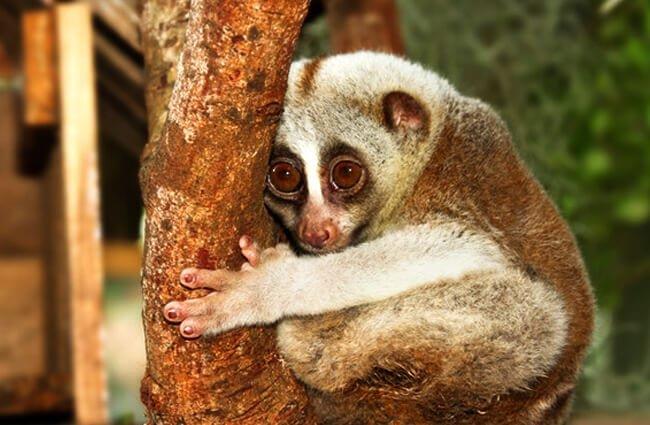 Slow Loris hugging a tree Photo by: (c) praisaeng www.fotosearch.com
