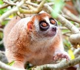 An Adorable Slow Loris Portraitphoto By: (C) Ngarare Www.fotosearch.com