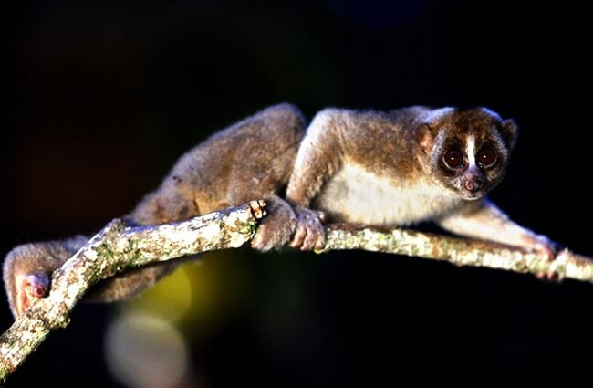 Sunda Slow Loris (Greater Slow Loris) Photo by: lonelyshrimp, Public Domain https://creativecommons.org/publicdomain/mark/1.0/