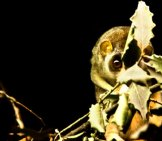 Slender Loris At The London Zoo Photo By: Michael Camilleri Https://creativecommons.org/licenses/by/2.0