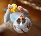 Adorable Slow Loris Photo By: Vladimir Buynevich Https://creativecommons.org/licenses/by/2.0