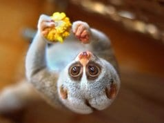 Slow Loris eating upside-downPhoto by: Vladimir Buynevich//creativecommons.org/licenses/by/2.0