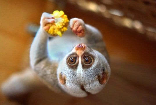 Slow Loris eating upside-downPhoto by: Vladimir Buynevichhttps://creativecommons.org/licenses/by/2.0
