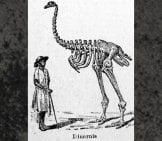 Illustration Of A Man Standing Next To A Moa Skeletonimage By: Ancient Fund Of The Library Of The University Of Seville,public Domain
