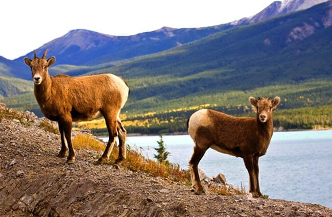 Rocky Mountain Sheep in Alberta Canada Photo by: (c) bobloblaw66 www.fotosearch.com