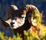 Portrait Of A Big Horn Rocky Mountain Sheep Photo By: (C) Photocdn8 Www.fotosearch.com