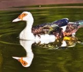 Muscovy Duck Floating Along With His Reflection