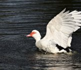 White Muscovy Duck Landing On The Water