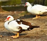 A Pair Of Muscovy Ducks At The Water's Edge