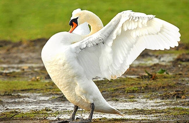 Young Mute Swan showing offPhoto by: Jimmy Edmondshttps://creativecommons.org/licenses/by-sa/2.0/
