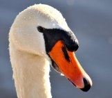 Closeup Of A Mute Swan Photo By: Mabel Amber Https://pixabay.com/photos/mute-Swan-Swan-Animal-Bird-3201588/