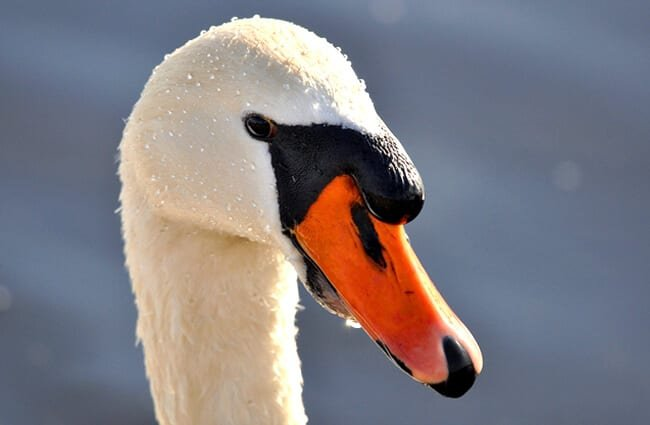 Closeup of a Mute Swan Photo by: Mabel Amber //pixabay.com/photos/mute-swan-swan-animal-bird-3201588/