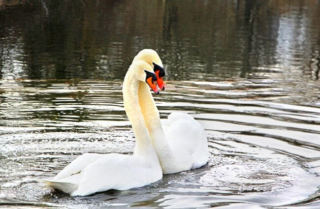 A Mute Swan couple Photo by: Anne Stauf https://pixabay.com/photos/spring-swans-nature-swan-2116029/