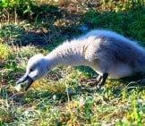 Mute Swan Cygnet (Baby) Foraging For Food Photo By: Mike Aixklusiv //pixabay.com/photos/swan-Hungry-Swan-Baby-Baby-Swan-4140607/