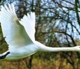 Mute Swan In Flight Photo By: Wikiimages Https://pixabay.com/photos/swan-Flying-Wing-Mute-Swan-73544/
