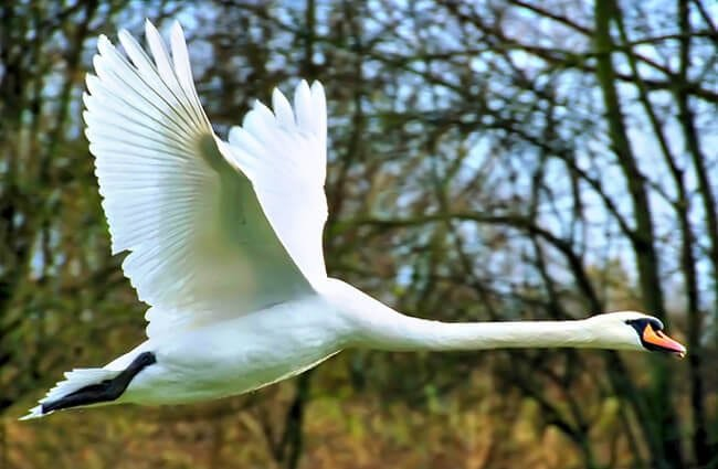 Mute Swan in flight Photo by: WikiImages //pixabay.com/photos/swan-flying-wing-mute-swan-73544/