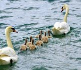 Mute Swan Couple Swimming With Their Babies Photo By: Suju //pixabay.com/photos/swans-Family-Swan-Water-White-2441210/