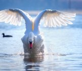 Mute Swan Landing On The Water Photo By: Moonzigg //pixabay.com/photos/swan-Flight-Start-Water-Spray-4028727/