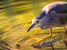 Night Heron fishing in a shallow pondPhoto by: Lukas Bieri//pixabay.com/photos/night-heron-water-pond-lake-waters-2363889/