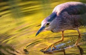 Night Heron fishing in a shallow pondPhoto by: Lukas Bierihttps://pixabay.com/photos/night-heron-water-pond-lake-waters-2363889/