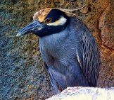 Yellow-Crowned Night Heron Photo By: Graham Hobster //pixabay.com/photos/yellow-Crowned-Night-Heron-Animal-2411060/