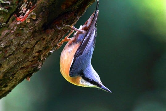 Nuthatch hopping on a tree trunk, much like a woodpecker
