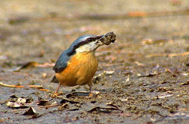 Nuthatch bringing home a meal