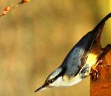 Nuthatch On A Birdfeeder