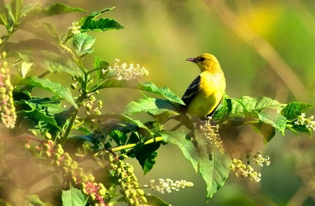Pretty little Orchard oriole on a bush Photo by: Andrew Weitzel https://creativecommons.org/licenses/by-sa/2.0/