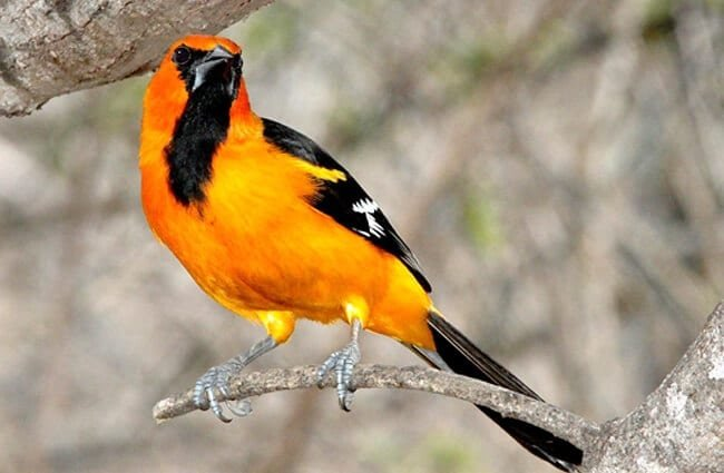 Beautiful Altamira Oriole on a branchPhoto by: skeezehttps://pixabay.com/photos/altamira-oriole-bird-perched-nature-1653173/