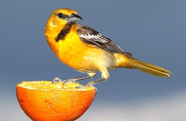 Bullocks Oriole eating an orange Photo by: skeeze https://pixabay.com/photos/bullocks-oriole-bird-perched-orange-1653292/