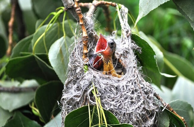 Oriole chick waiting for dinner! Photo by: skeeze https://pixabay.com/photos/bird-baby-oriole-chick-hungry-683965/