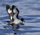Black-Capped Petrel At Port Fairy Pelagic, Victoria Photo By: Ed Dunens Https://creativecommons.org/licenses/by/2.0/