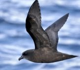 Black Petrel In Flight Photo By: Ed Dunens Https://creativecommons.org/licenses/by/2.0/