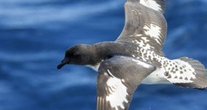 Cape Petrel flyingPhoto by: Ed Dunens//creativecommons.org/licenses/by/2.0/