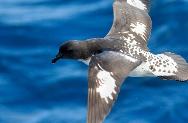 Cape Petrel flyingPhoto by: Ed Dunenshttps://creativecommons.org/licenses/by/2.0/