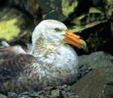 "Giant Petrel Nesting Photo By: Gregory ""slobirdr"" Smith Https://creativecommons.org/licenses/by/2.0/"