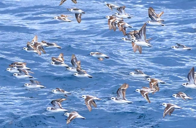 A flock of White-Faced Storm Petrels Photo by: Pedro Szekely https://creativecommons.org/licenses/by/2.0/