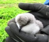 A Fuzzy Bonin Petrel Chick Photo By: Forest Starr And Kim Starr Https://creativecommons.org/licenses/by/2.0/