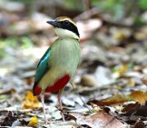 Fairy Pitta Photo By: (C) Assoonas Www.fotosearch.com