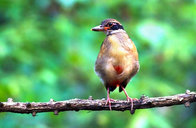 Mangrove Pitta perched on a branch Photo by: (c) PhiphatStockphoto www.fotosearch.com