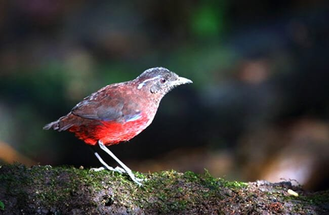 Graceful Pitta in Sumatra, Indonesia Photo by: (c) feathercollector www.fotosearch.com
