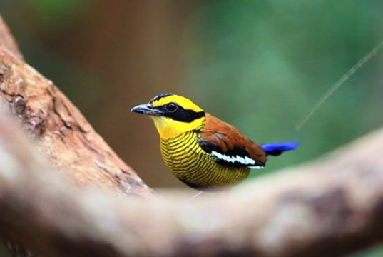 Male Bornean Banded Pitta in Borneo, MalaysiaPhoto by: (c) feathercollector www.fotosearch.com