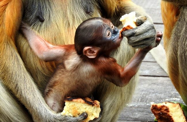 Baby Proboscis Monkey being fed by her mom