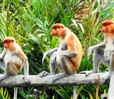 A Trio Of Proboscis Monkeys